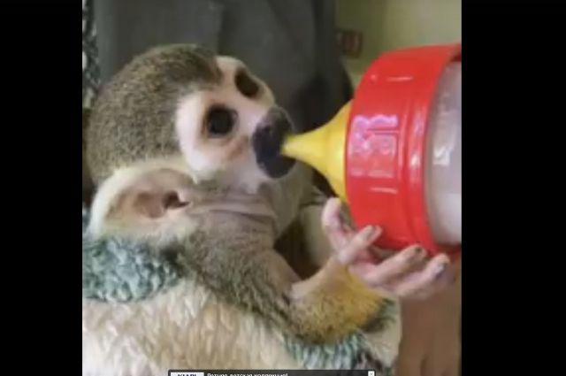ВЧелябинском зоопарке выкармливают ребенка саймири, откоторого отказалась мать