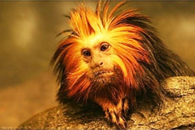 Из Новосибирска в тюменский зоопарк прибыла обезьяна, приносящая счастье
