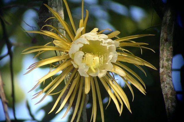 «Царица ночи» расцветет сегодня вБотаническом саду