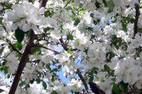 Плодовые деревья в этом году цвели дружно, но из-за холодов пострадала завязь.