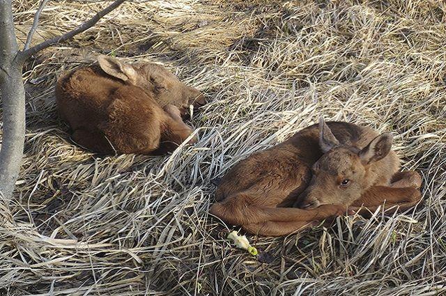 Сотрудники связи в Викуловском районе спасли лосят, которые могли умереть