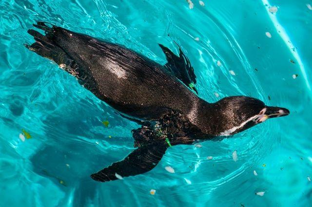 Пингвины Гумбольдта первым делом бросились осваивать водоём.