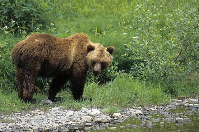 Медведь охотился за стадом в течение двух недель.