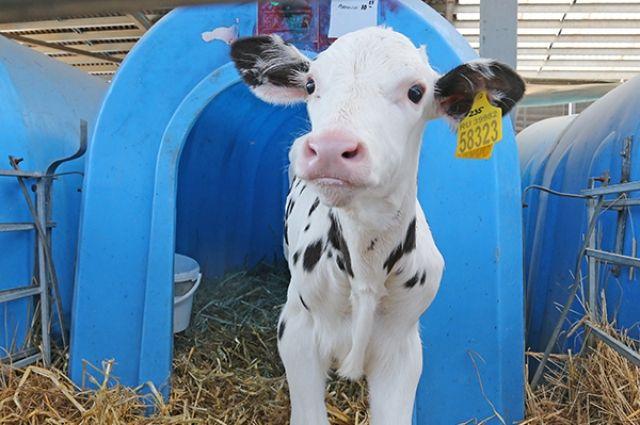 Калининградские сельхозпроизводители поставили вРФ неменее 750 голов высокопродуктивного скота