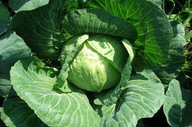 В хозяйстве Хавыева овощи выращивают из европейских семян