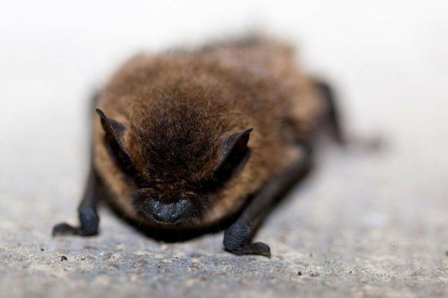Опасное заболевание у мышей вызывает грибок.