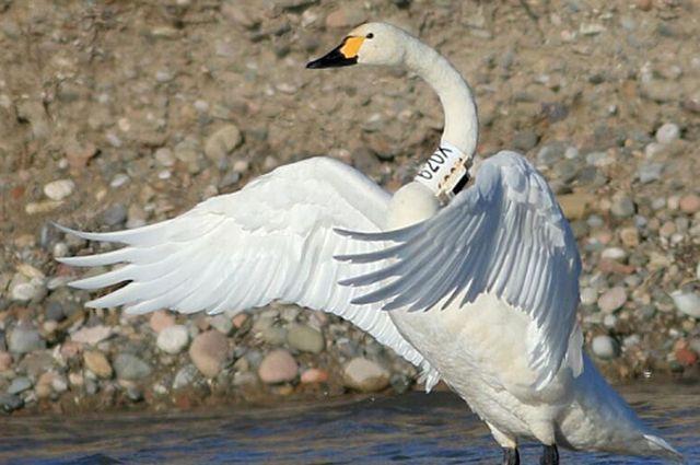 После ледохода на Ямал с зимовки прилетели лебеди.