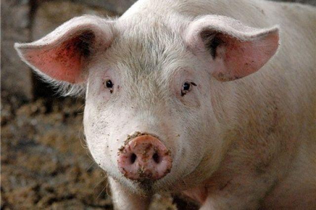 Агрокомплекс под Нижним Тагилом отравил почву иводу села Лая свиными фекалиями