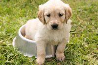 Носителем бактерии становится каждый четвертый новорожденный щенок.
