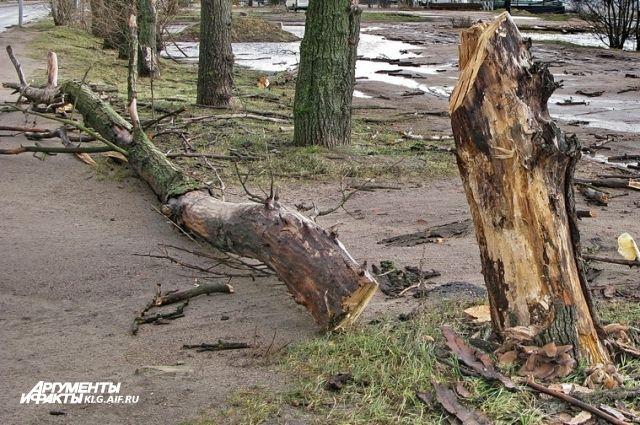 В Калининграде упавшее из-за сильного ветра дерево повредило три автомобиля.