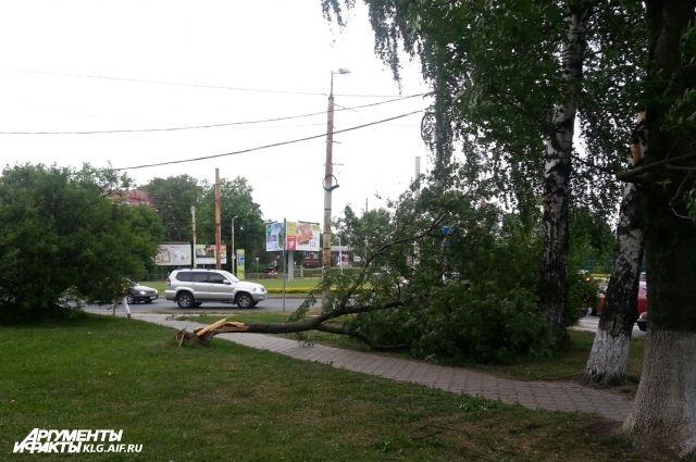 33 дерева повалены в Калининграде из-за сильного ветра.