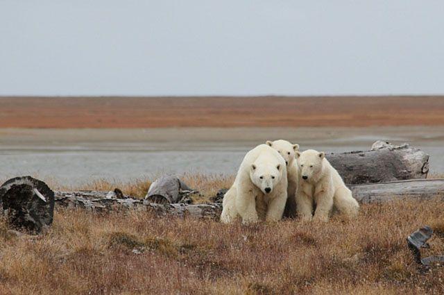 Ученые уверяют, что еды для хозяина Арктика на Ямале достаточно.