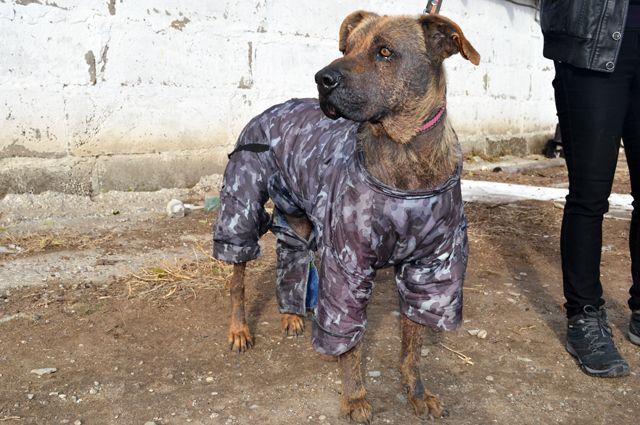 Собака Альфа. Сотрудники приюта считают, что облысение могло быть спровоцировано стрессом после смерти хозяина или обморожением.