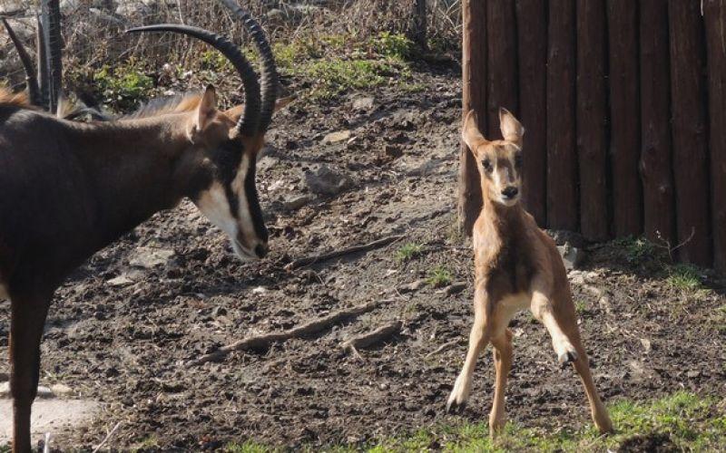В начале марта родился детёныш чёрной антилопы.