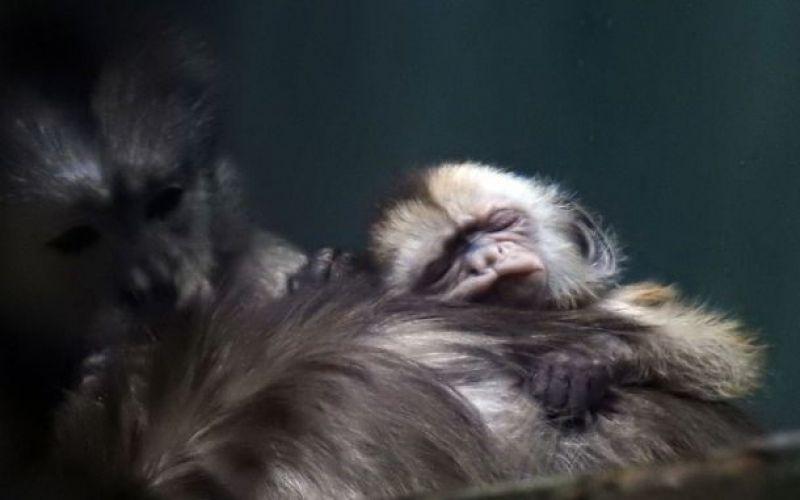 В конце апреля родился малыш капуцина-плаксы.