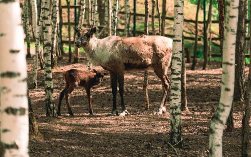 В центра воспроизводства редких видов под Волоколамском у самок северных лесных оленей родились оленята.