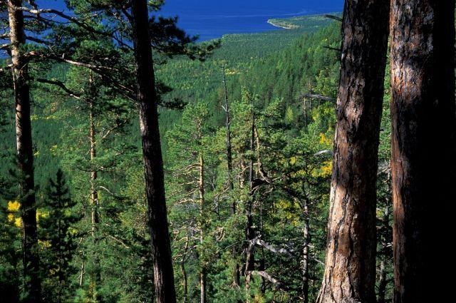 Хвойные леса Восточной Сибири