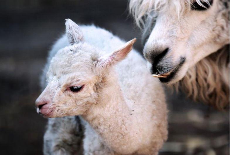 В конце марта появился на свет детёныш альпаки.