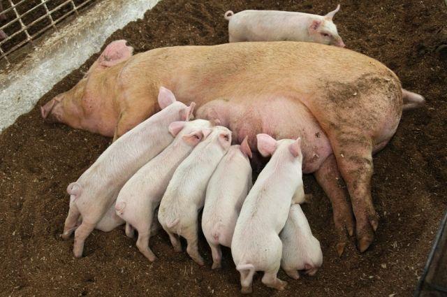 Тюменские ветеринары опасаются африканской чумы свиней