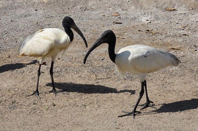 Ибис считался священной птицей в древнем Египте