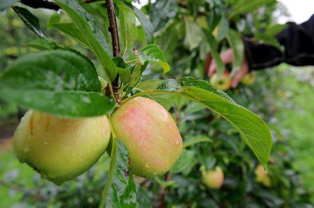 Что Россельхознадзор может сделать с больными садовыми растениями?