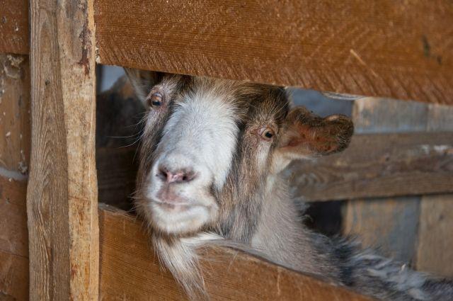 Два кузбассовца украли у пастуха козу и двух баранов на шашлык.