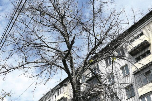 Почему засохли большие взрослые деревья в центре Челябинска? Из-за морозов, антигололёдного реагента или «дорожной революции»?