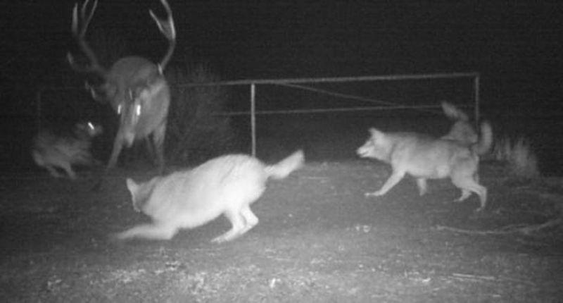 Волки начали охоту на оленя
