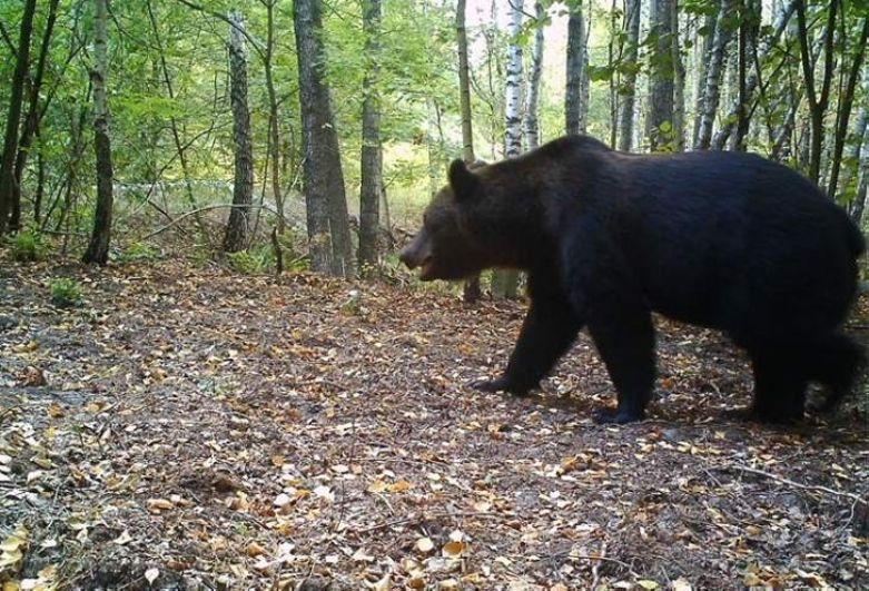 Зону ЧАЭС облюбовали медведи, которых не видели здесь сотню лет