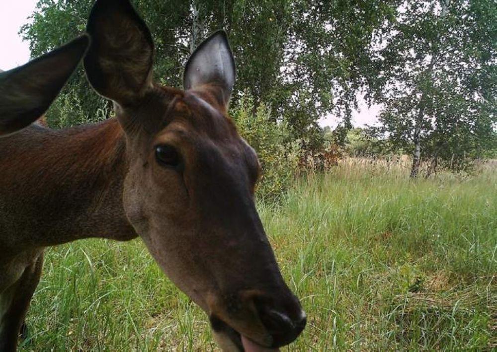 Фотоловушка вызвала интерес у оленей
