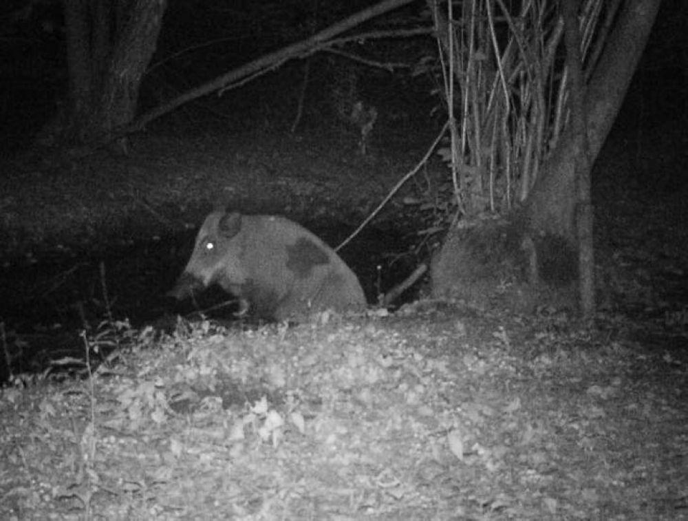 Кабан вышел на ночную прогулку
