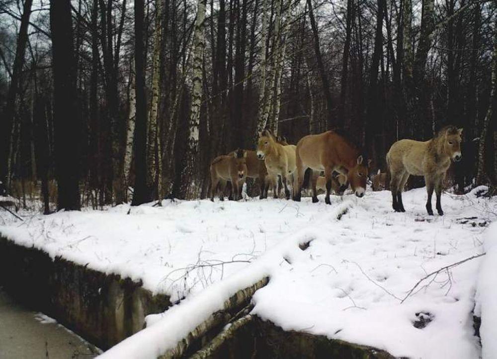Лошади Пржевальского обустроились на новой территории