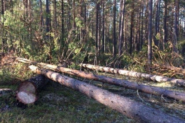«Черными» лесорубами спилено более 800 деревьев в Братском районе.