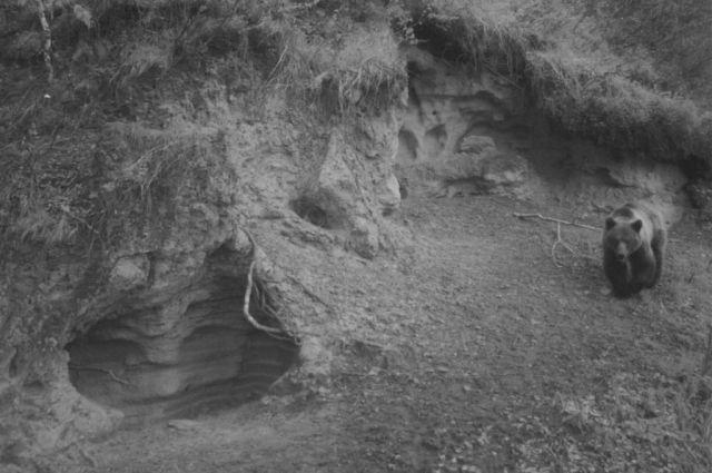 Медведи в алтайском биосферном заповеднике
