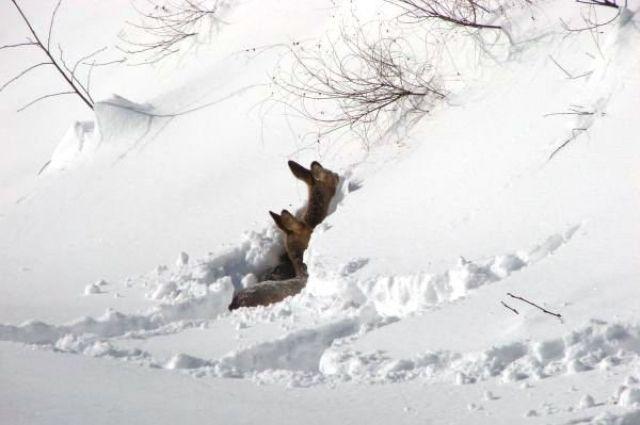 Косули увязли в снегу
