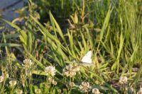 Таких бабочек можно встретить в самых разных местах города