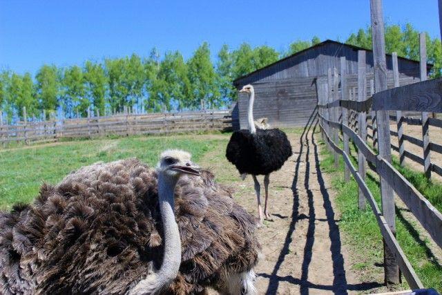 Первое поколение страусят ожидают в сентябре.