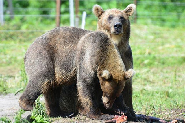 НаКамчатке убили 2-х прикормленных людьми медведей