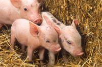 На свиноферме в  Тюменской области животных содержали в ужасных условиях