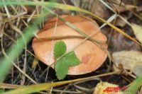 Пермяки сообщают в соцсетях, что пошли грибы.