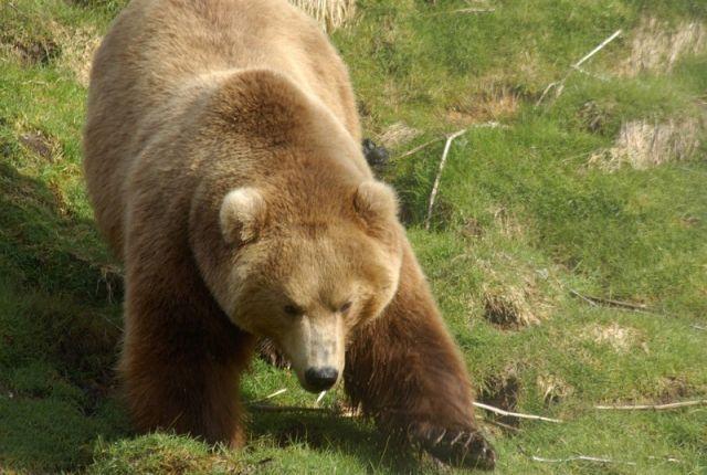 Медведь напал наотдыхающего наКамчатке мужчину