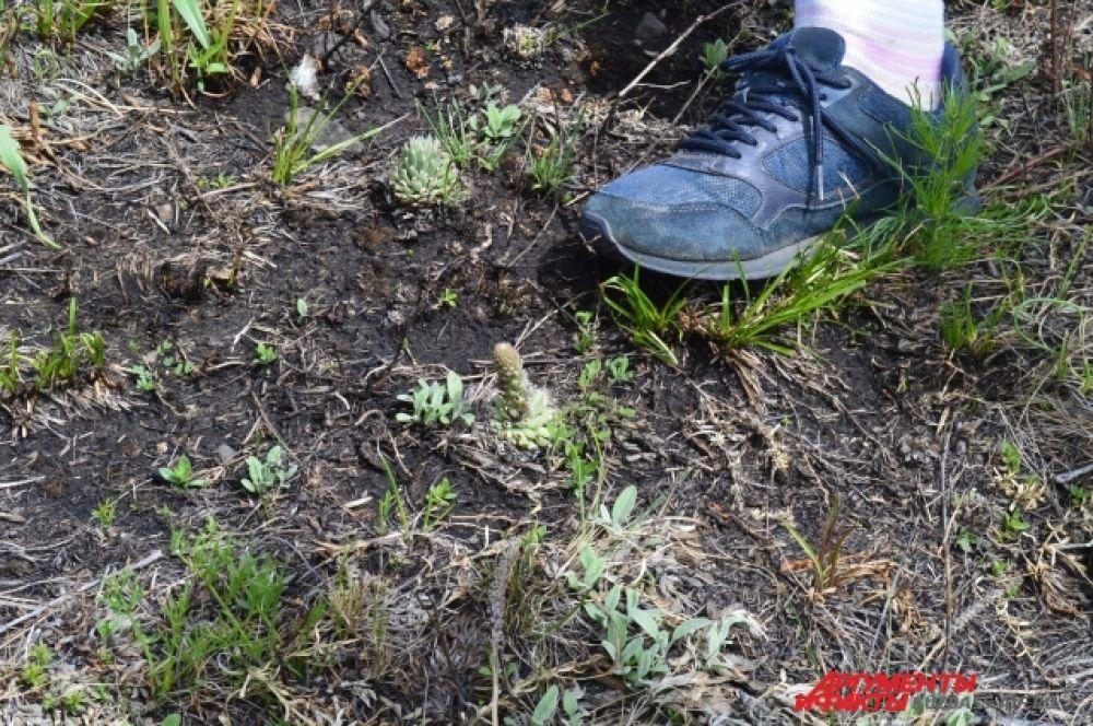 На хребте растёт около 560 видов растений – треть всей флоры Кузбасса. Это, к примеру, кисловатая заячья капуста.