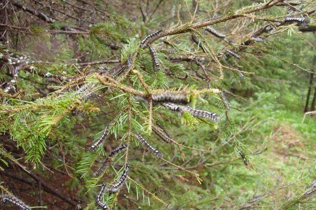 Популяция вредителя увеличилась из-за сильной засухи - произошла смена двухлетней генерации насекомого на однолетнюю.