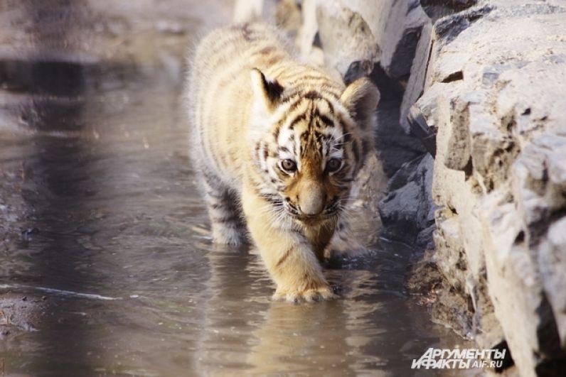 Когда дождя нет, а на улице палящий зной - хищников поливают из шланга. В отличие от домашних кошек, их дикие сородичи совсем не боятся воды