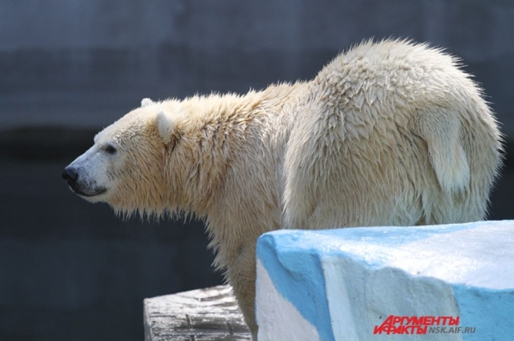 А вот белые медведи, несмотря на то, что они - северные животные, чувствуют себя отлично. Правда, из бассейна почти не выходят. И не удивительно - туда подливают холодную воду.