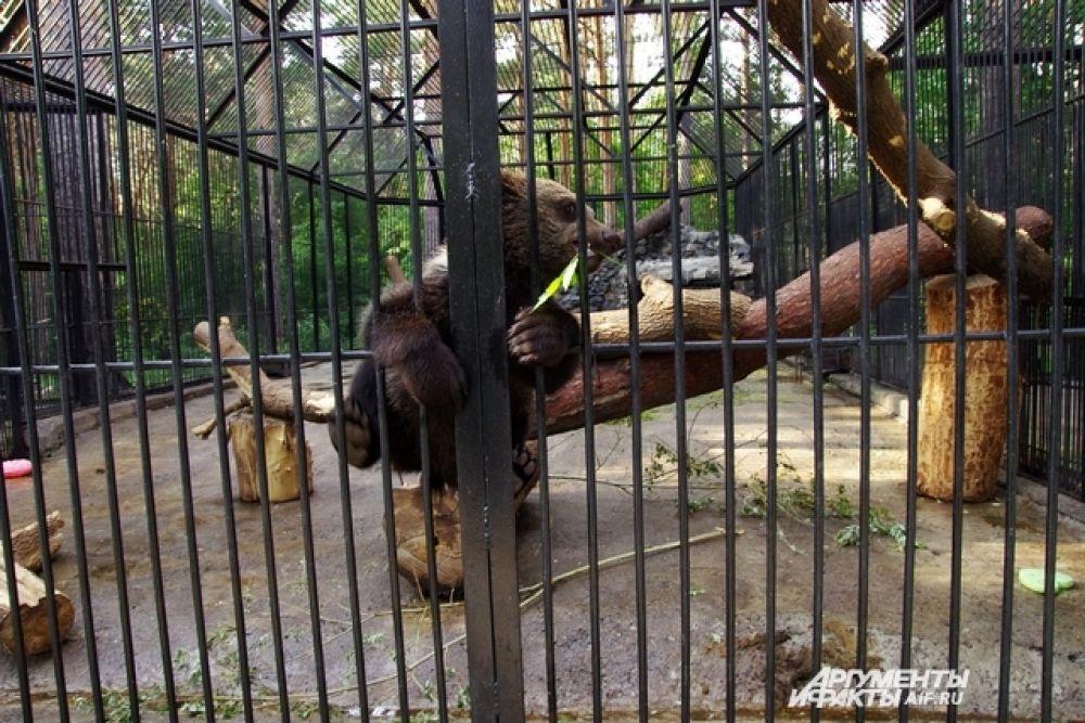 Медвежата балуются как дети не смотря на температуру. Аппетит в жару у животных тот же, а вот воды они пьют больше