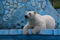 Белые медведи спасаются от жары купанием.
