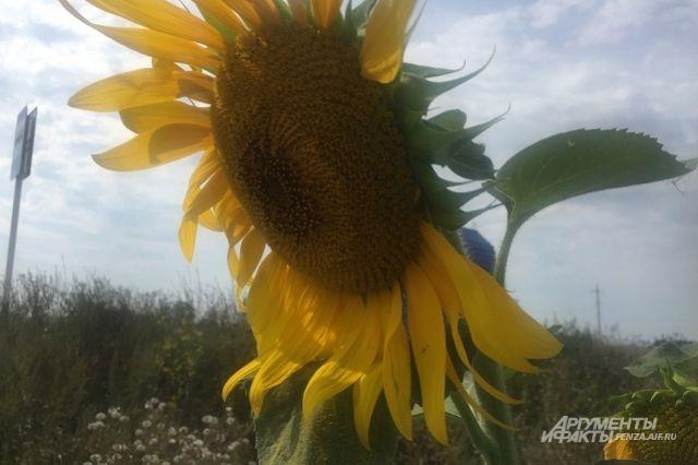 Бескрайние поля подсолнечника теперь - неотъемлемая часть воронежского сельского пейзажа.