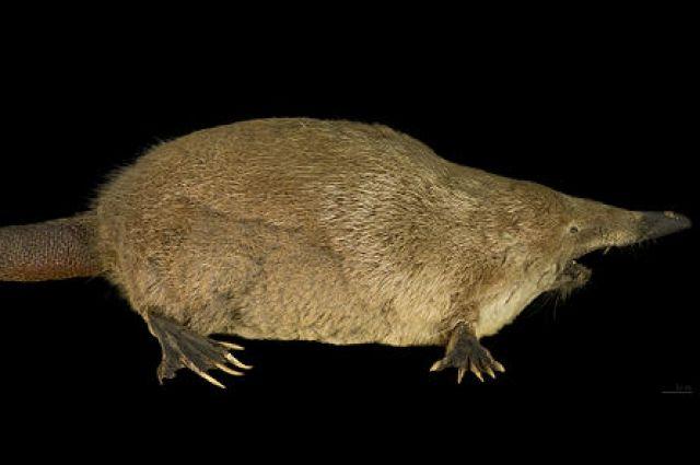 Русская выхухоль - одна из представителей краснокнижных животных Владимирской области