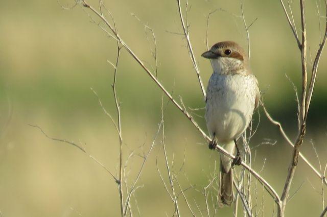 Эта маленькая птичка зовется жулан.